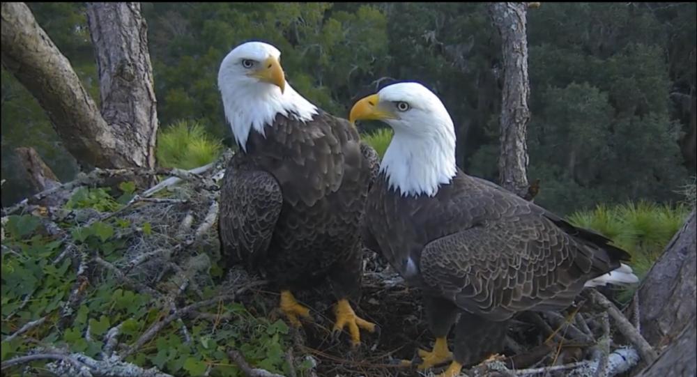 Hamlet online again! A nest of bald eagles in Florida