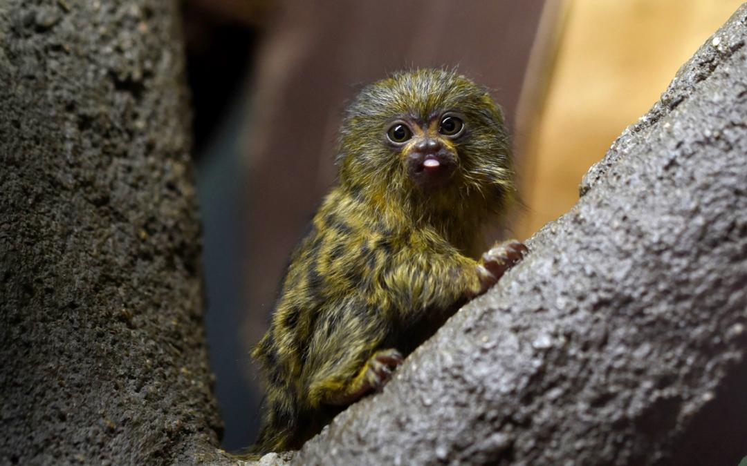 V olomoucké zoo se narodila dvě mláďata kosmanů zakrslých