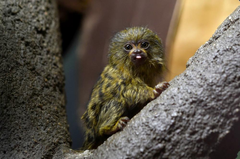 Two dwarf marmosets were born in the Olomouc Zoo