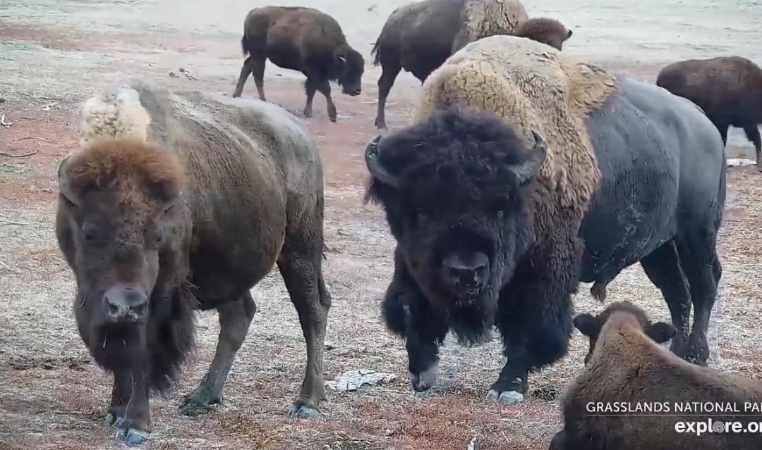 Bizoni v Národním parku Grasslands – videozáznamy