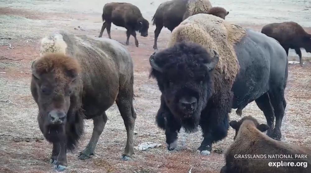 Bison in Grasslands National Park - videos