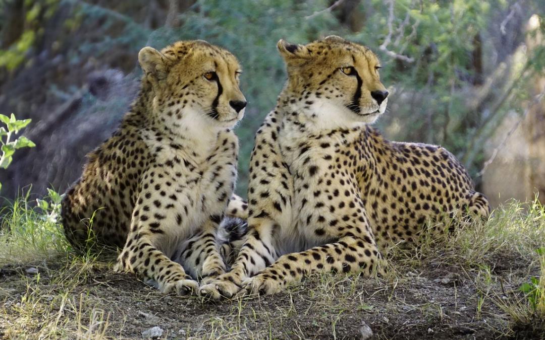 Gepard ve výběhu zvířecího parku Port Lympne