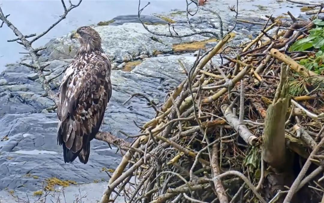 Mladý orel u hnízda orlů mořských v Norsku – videozáznam