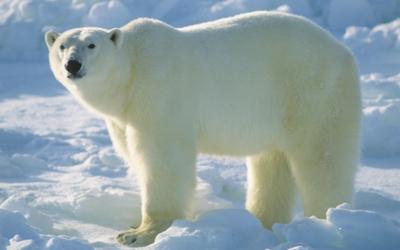 Lední medvěd v Kansas City Zoo