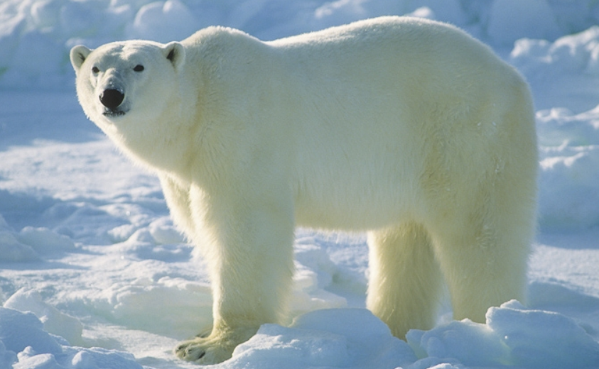 Urso polar no zoológico de Kansas City