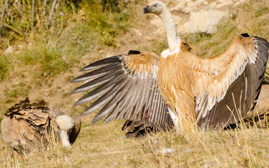 Carnivorous bird feeding in Spain