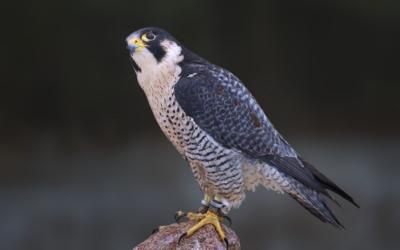 Peregrine Falcon - San Jose