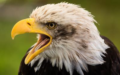 Bald Eagle - Captiva, Florida