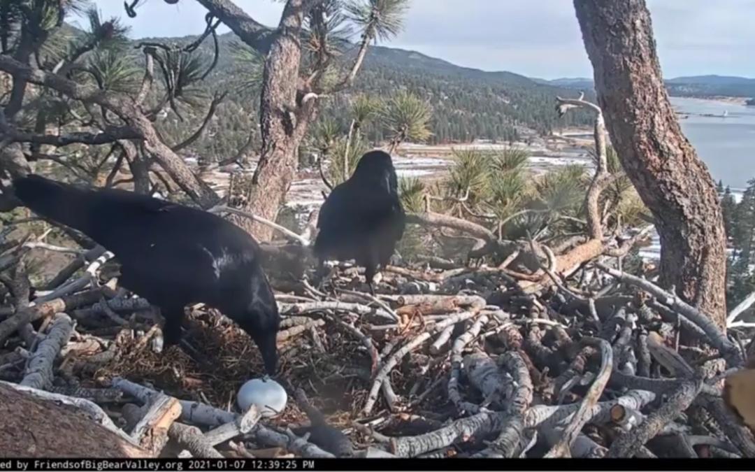 Smutná zpráva z hnízda orlů bělohlavých od jezera Big Bear – na vajíčko zaútočili krkavci