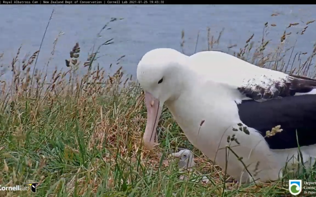 Albatrosům královským se vylíhlo mládě