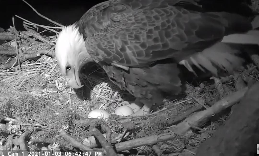 Gabrielle položila druhé vajíčko – hnízdo orlů bělohlavých na Floridě