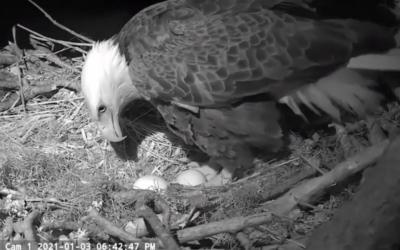 Gabrielle ha deposto il secondo uovo: il nido delle aquile calve in Florida