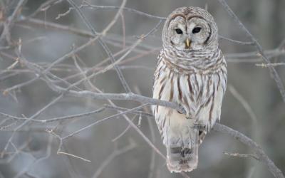 Striped Owl - Florida