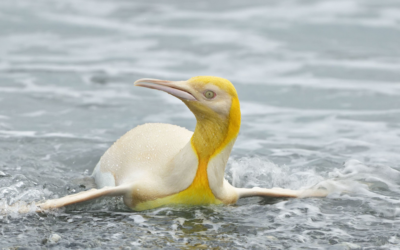 A rarity in the South Atlantic! A yellow and white penguin was first seen on the beach of South Georgia