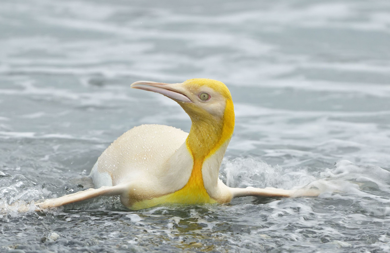 Rarita v jižním Atlantiku! Na pláži ostrova Jižní Georgie byl poprvé spatřen žluto–bílý tučňák