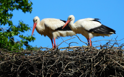 Stork nests - Netherlands