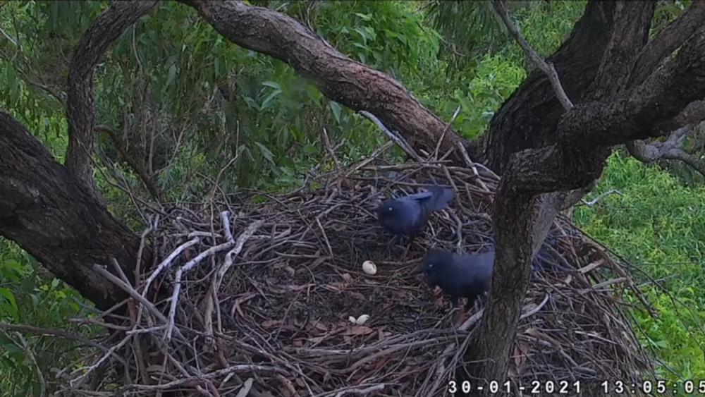 Australští krkavci ukradli kachně proužkované vejce