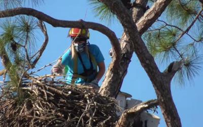 Návrat mláďat orlů bělohlavých E17 a E18 na hnízdo!