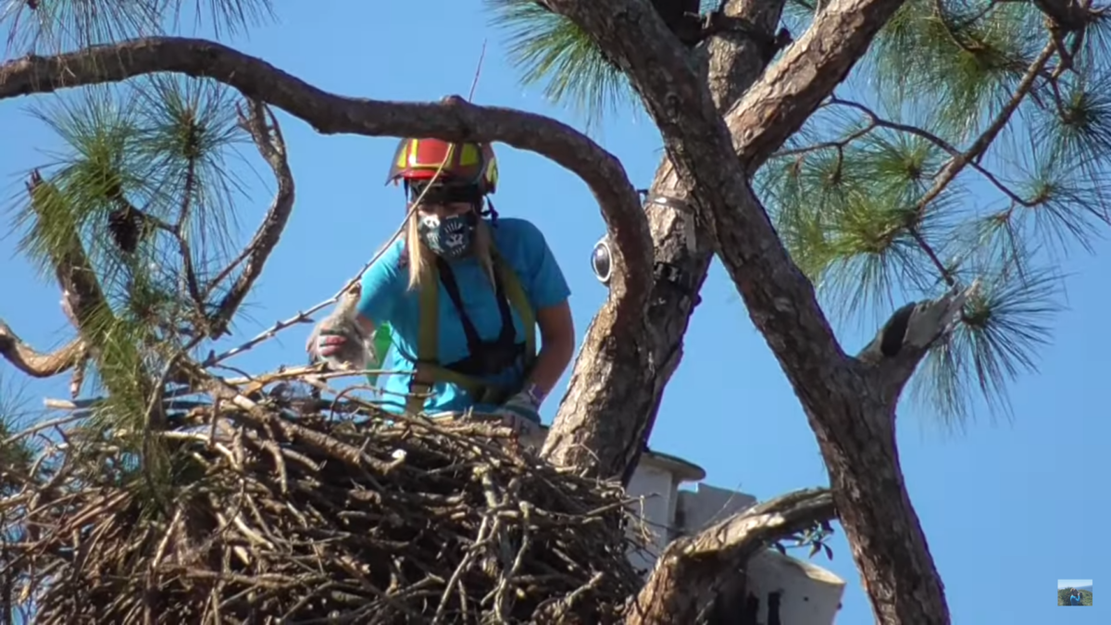 Return of E17 and E18 bald eagles to the nest!