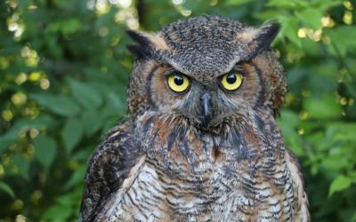 Výr virginský – hnízdo orlů bělohlavých v Kansas