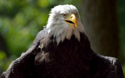 Hnízdo orlů bělohlavých Duke Farms
