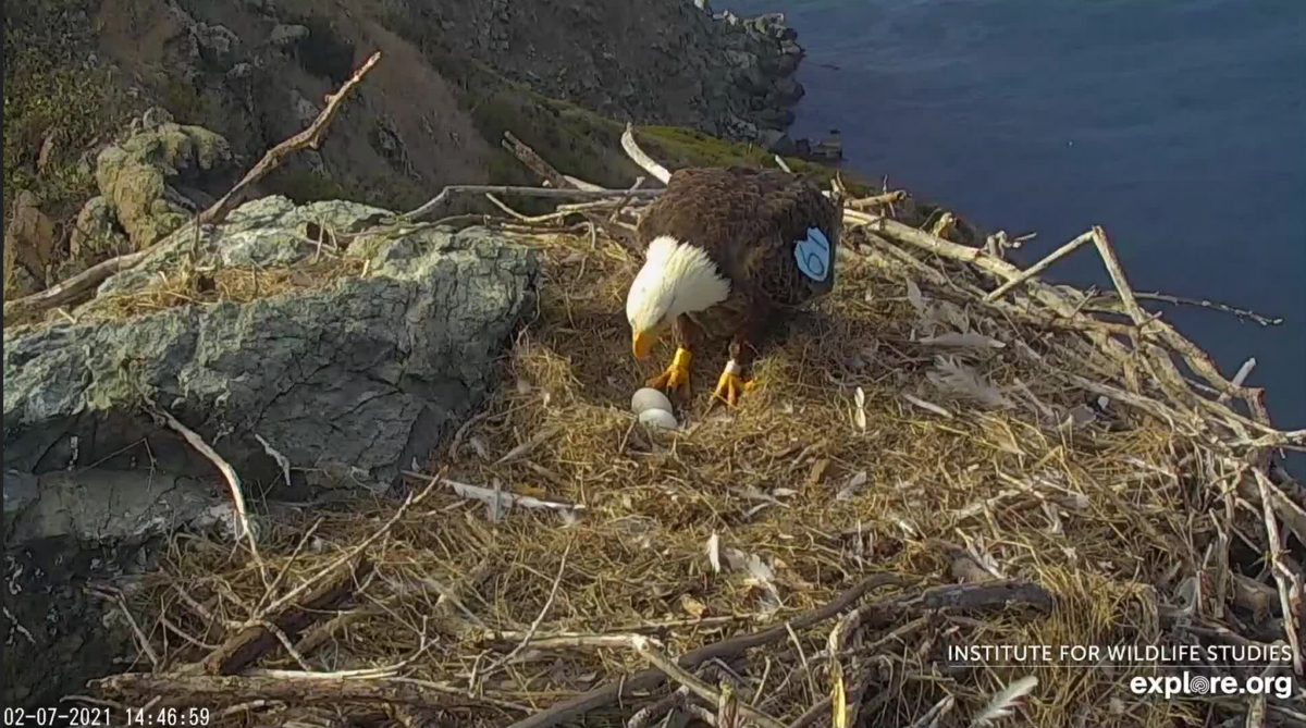 Three eggs on a nest of bald eagles in the West End