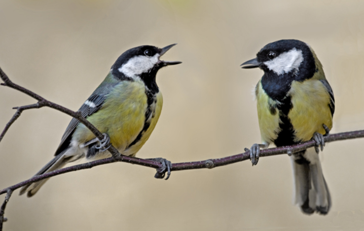 Great tit - Israel