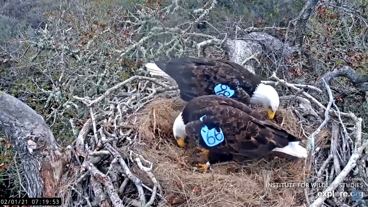 A new pair of bald eagles at the Fraser Point nest