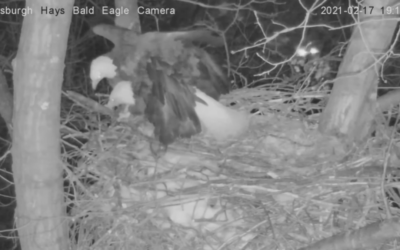 Bald eagles defended eggs from a raccoon