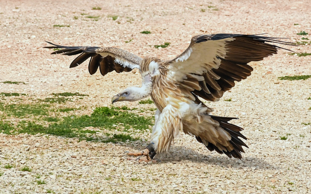 Vulture Feeding - Israel