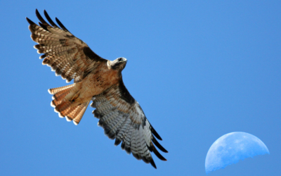 Red-tailed Buzzard - New York