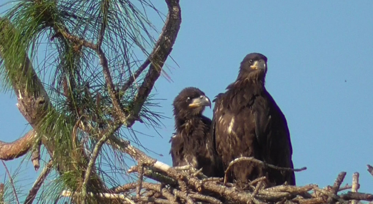 The nest starts to be tight, E17 and E18 practice the wings
