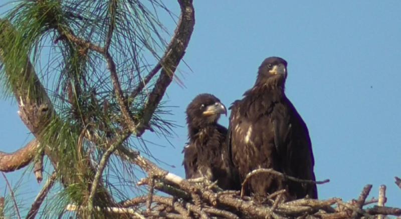 Hnízdo začíná být těsné, E17 a E18 procvičují křídla