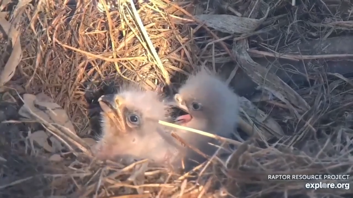 The bald eagles in Decorah North hatched their young