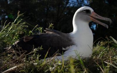 Nejstarší pták na světě vychovává v 70 letech další mládě