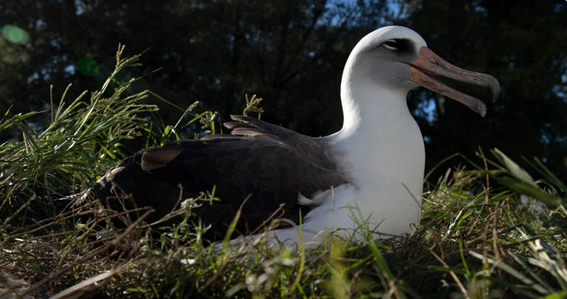The oldest bird in the world raises another cub at the age of 70