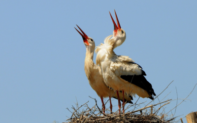 Stork's nest on the brewery chimney in Trutnov
