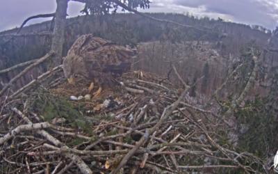 Tři vajíčka v hnízdě orlů mořských v Lotyšsku