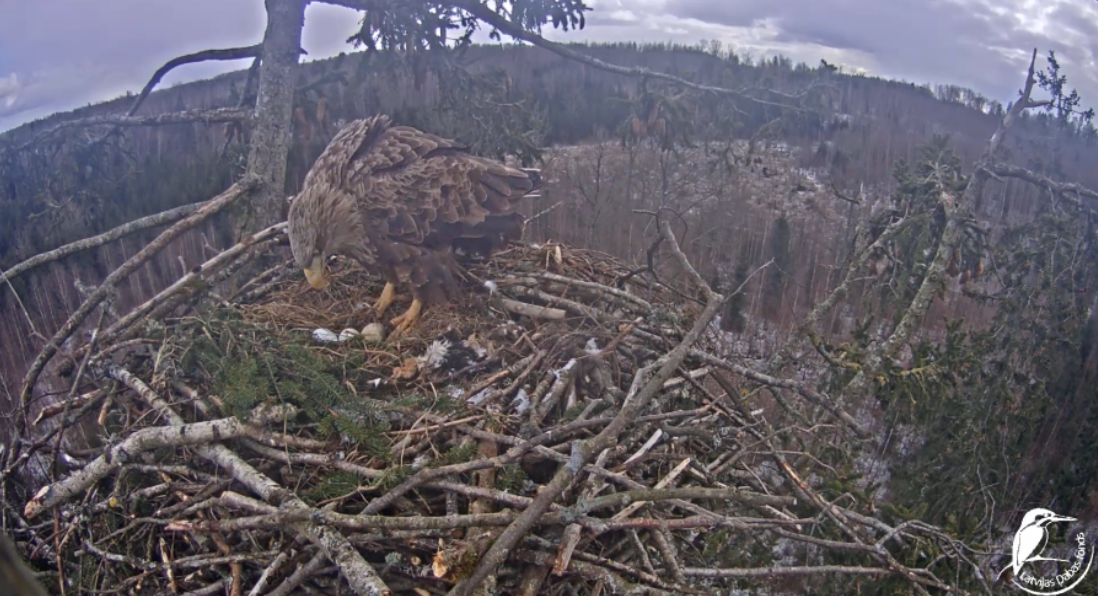 Three eggs in a nest of sea eagles in Latvia