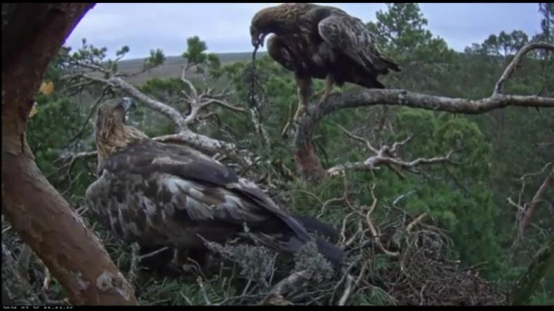 V Estonsku se orli skalní připravují na hnízdění