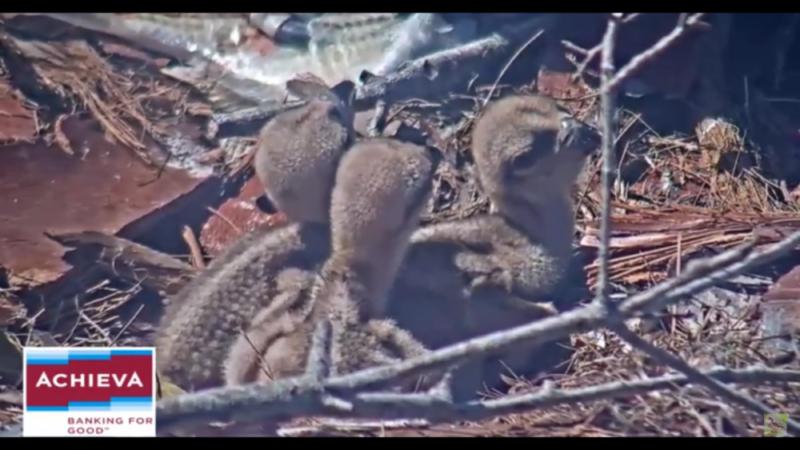 Orlovcům říčním na Floridě se vylíhla mláďata