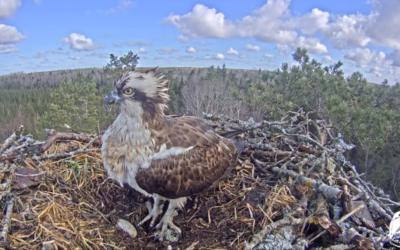 Sameček orlovce říčního Teo se vrátil na hnízdo v Lotyšsku