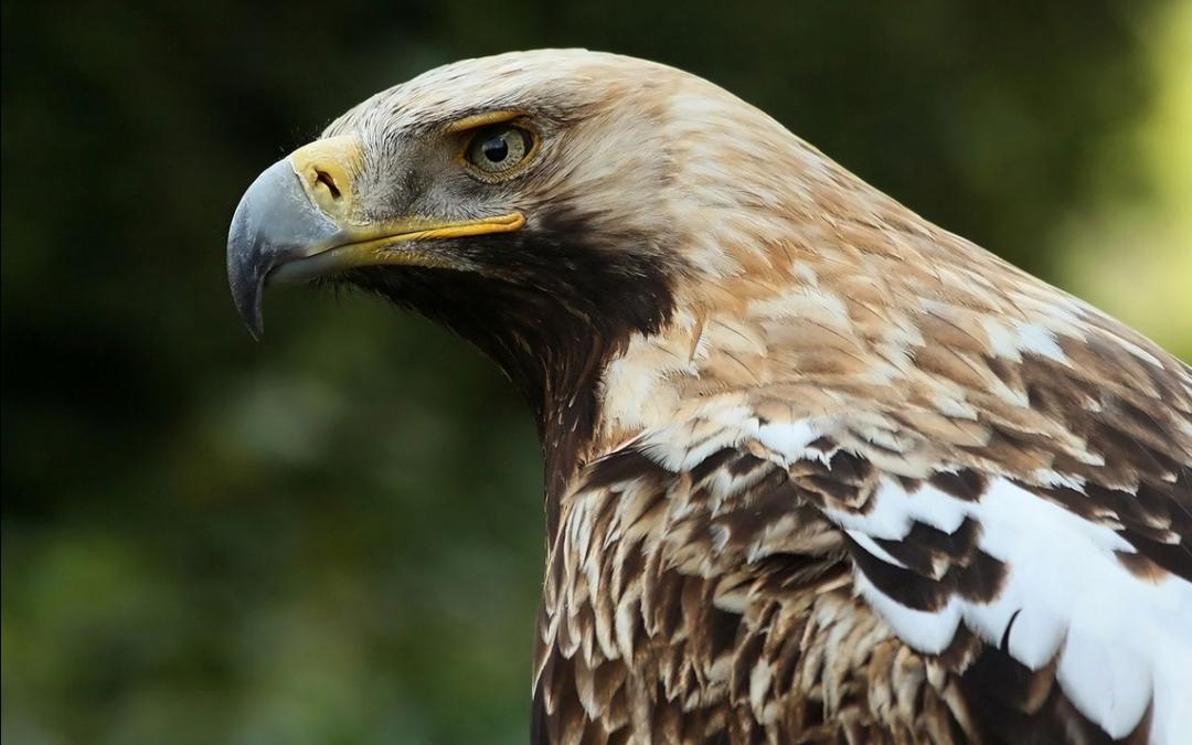Royal Eagle - Rusia