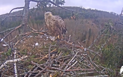 Tragedy in the nest of sea eagles