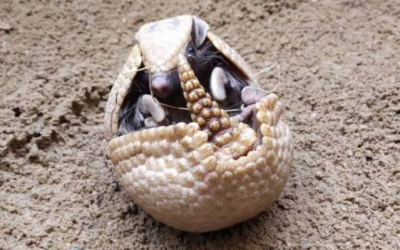For the first time, the Liberec Zoo managed to breed a spherical armadillo.