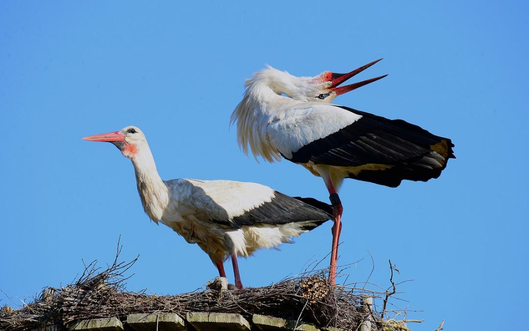 Hnízdo čápů bílých v Lotyšsku