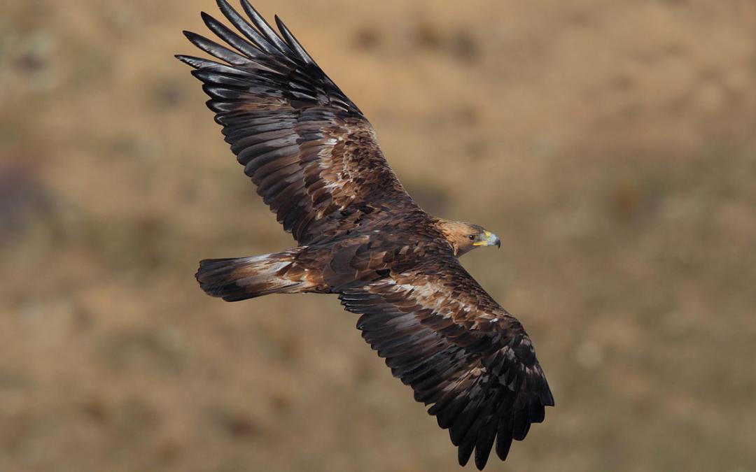 Orel skalní Rumunsko