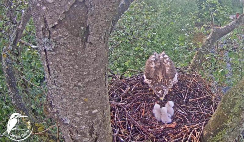 Jestřábům lesním se vylíhla tři mláďata