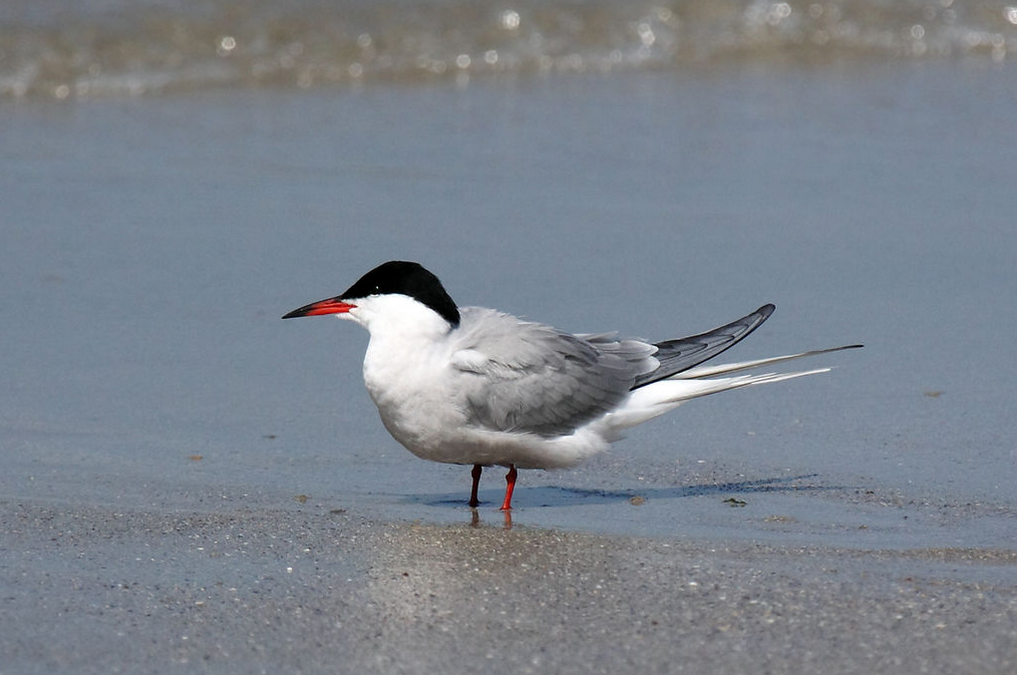 Nesting of terns and gulls