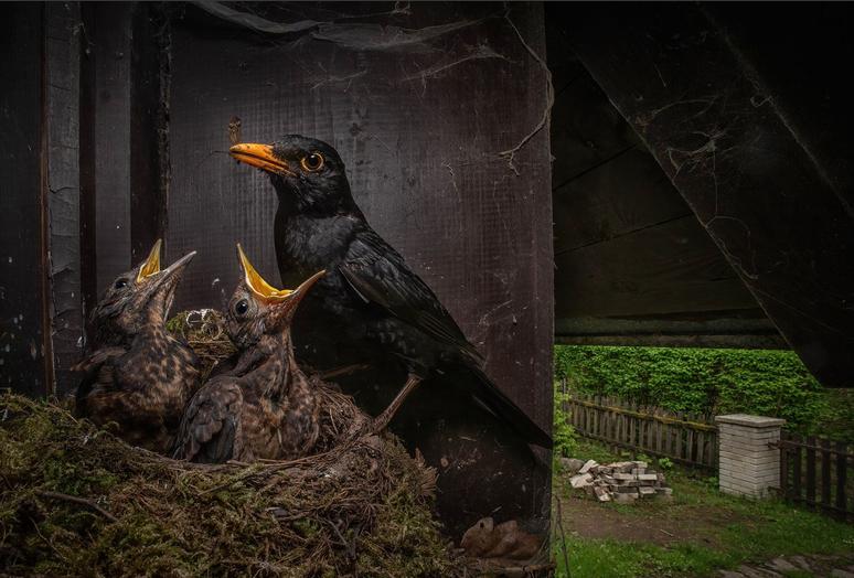 Fotografickou soutěž Czech Nature Photo 2021 vyhrál snímek kosa s mláďaty.